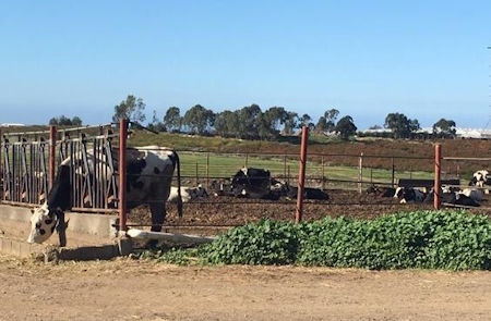 Cows in stable in Baja