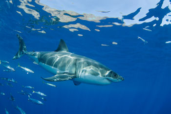 Great White of Baja