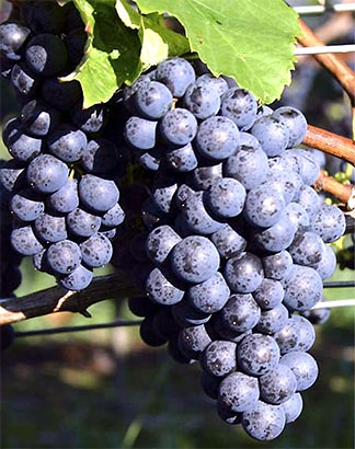 Guadalupe Valley Grapes