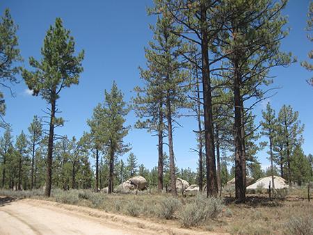 Laguna Hanson pine trees