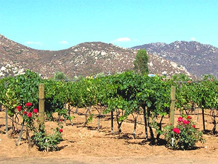 Guadalupe Valley Vines