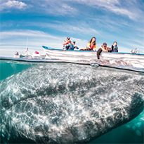 The Gray Whales of Baja
